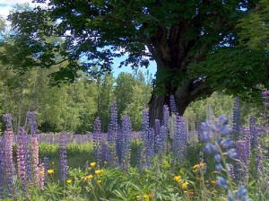 18th Annual Fields of Lupine Festival - Sugar Hill, NH 1