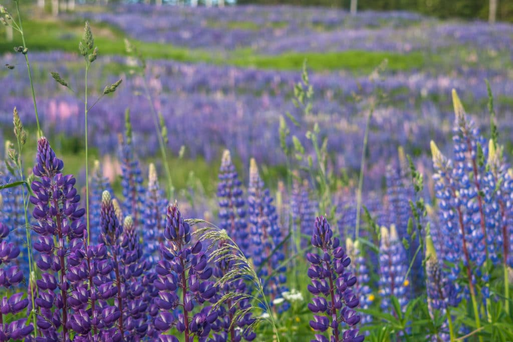 The Lupine Festival (21') 2